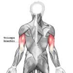 Triceps_brachii